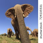 Small photo of African Elephant trunk closeup