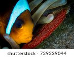 anemone fish taking care of the ... | Shutterstock . vector #729239044