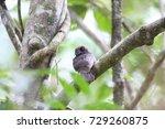 Small photo of Barred owlet-nightjar (Aegotheles bennettii) in Varirata National Park, Papua New Guinea