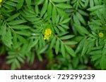 marigold flowers grow in the... | Shutterstock . vector #729299239