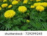 marigold flowers in the garden. | Shutterstock . vector #729299245