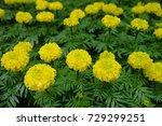 marigold flowers in the garden. | Shutterstock . vector #729299251