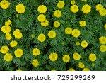 marigold flowers in the garden. | Shutterstock . vector #729299269
