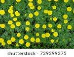 marigold flowers in the garden. | Shutterstock . vector #729299275