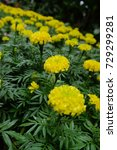 marigold flowers in the garden. | Shutterstock . vector #729299281