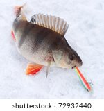 Perch with spinning lure in mouth - stock photo