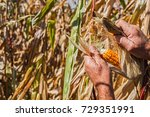 Man's Hands Picking Corn On...