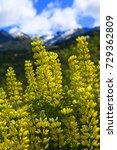 yellow lupine new zealand ... | Shutterstock . vector #729362809