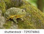 African Bullfrog Is Carnivorou...