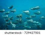 school of slinger fish swimming ...   Shutterstock . vector #729427501