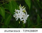 Small photo of Jasminum Adenophyllum Maliwan is a vine vine. The small or green leaves are yellowish-green, thin, but stiff, with a meringue, a pointed tip, flowers are white, a bouquet of flowers with 3-6 flowers.