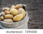 Harvested Potatos In Old Woode...