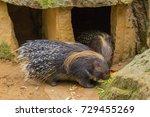 crested porcupine | Shutterstock . vector #729455269