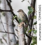yellow rumped warbler juvenile | Shutterstock . vector #729492601