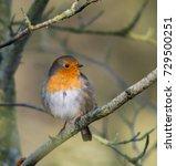 robin. little irish bird | Shutterstock . vector #729500251
