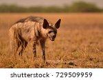 indian striped hyena | Shutterstock . vector #729509959