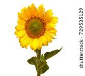 flower of sunflower isolated on ... | Shutterstock . vector #729535129