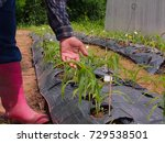 plant breeder are touching corn ... | Shutterstock . vector #729538501