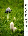 Small photo of Pallid grebe mushrooms on the green grass lawn