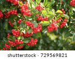 Pyracantha Bush With Red...