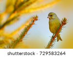 green and yellow songbird... | Shutterstock . vector #729583264
