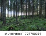 Old Spruce Tree Forest With...