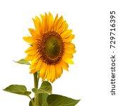flower of sunflower isolated on ... | Shutterstock . vector #729716395