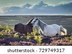wild horses on upland heathland ...   Shutterstock . vector #729749317
