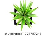 agave isolated on white... | Shutterstock . vector #729757249