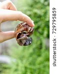 Small photo of Holding Achatina snail(gastropod) with fingers.