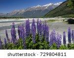lupines flowers nz  lupines... | Shutterstock . vector #729804811