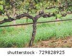Close Up Of Un Pruned Grape...