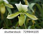 flower   green lady slipper... | Shutterstock . vector #729844105