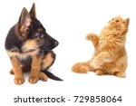Stock photo persian kitten attacking the paws of german shepherd puppy close up isolated on a white background 729858064