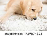 Stock photo cute puppy on dirty rug at home 729874825