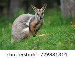 Yellow Footed Rock Wallaby  ...