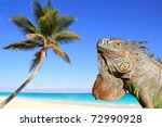 Mexican Iguana In Tropical...