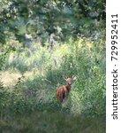 Deer Fawn Walking In A Meadow...