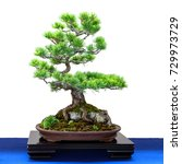 Japanese Five Finger Pine ...