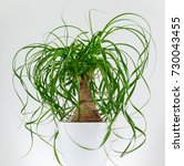Potted Ponytail Palm ...