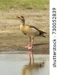 Small photo of Egyptian goose (Alopochen aegyptiacus) drinking water from a pond. They are native to Africa south of the Sahara and the Nile Valley