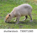 funny capybara eats grass in...   Shutterstock . vector #730071385