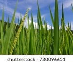 rice field | Shutterstock . vector #730096651