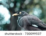 a beautiful myna bird in the... | Shutterstock . vector #730099537