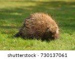 porcupine close up  canada  | Shutterstock . vector #730137061