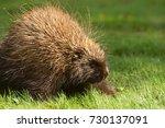 porcupine close up  canada  | Shutterstock . vector #730137091