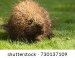 porcupine close up  canada  | Shutterstock . vector #730137109