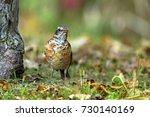 juvenile american robin in... | Shutterstock . vector #730140169