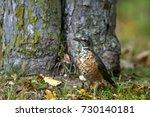 juvenile american robin in... | Shutterstock . vector #730140181