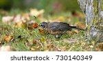 juvenile american robin eats a... | Shutterstock . vector #730140349